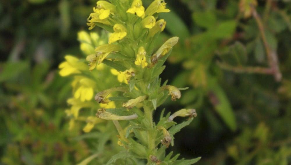 Hallan en Oliva 3.000 ejemplares de una planta desaparecida hace dos siglos