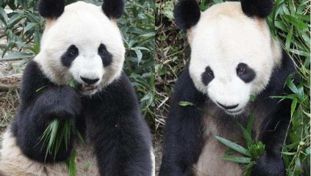 Shin Shin y Li Li, los pandas gigantes de Tokio