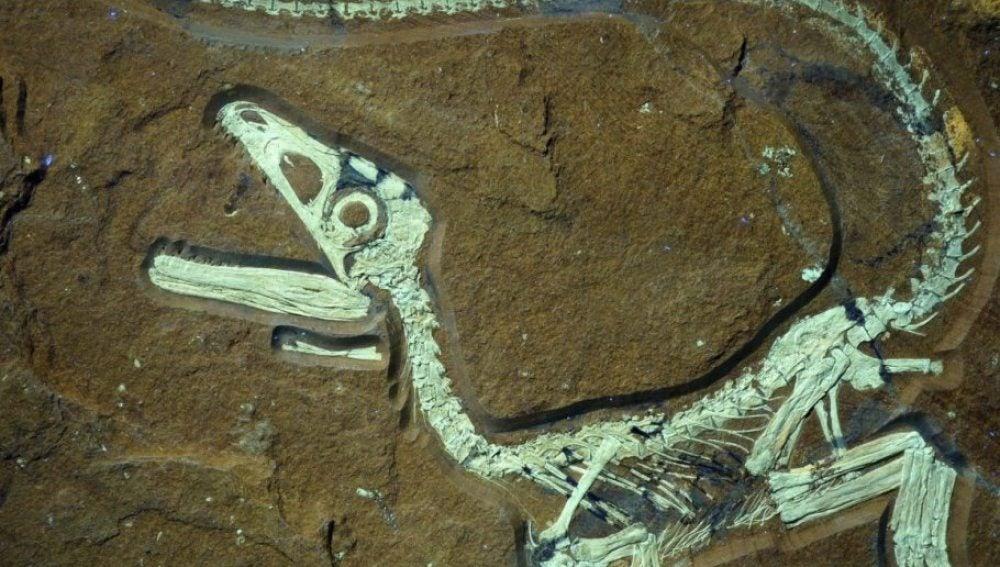 Restos fósiles de un dinosaurio