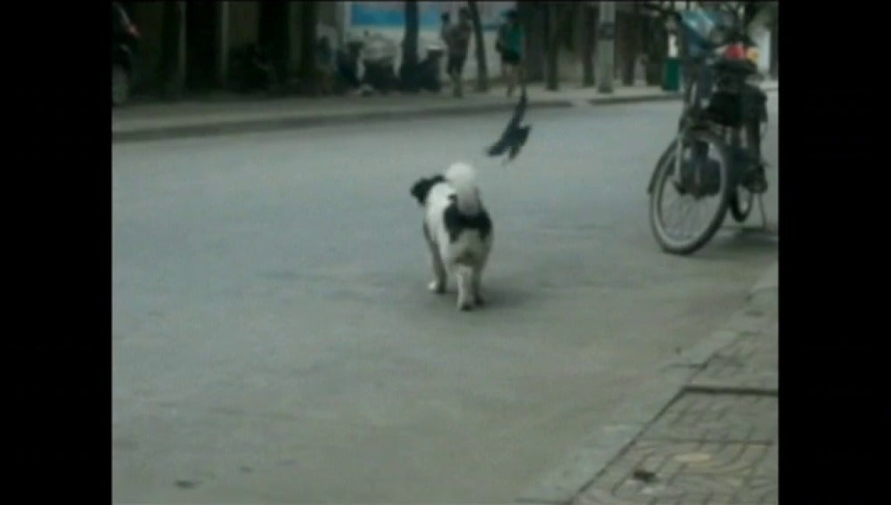 Golondrina ataca a un perro
