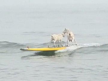 Dos cabras haciendo surf