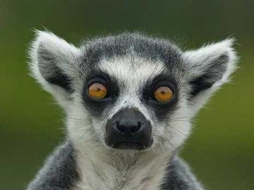Primer plano de un lemur