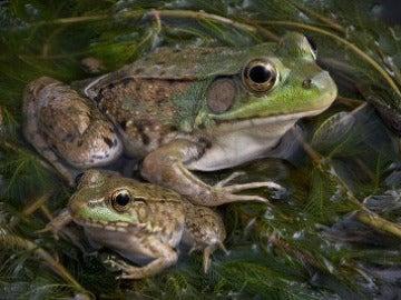 Cría y ejemplar adulto de la rana toro