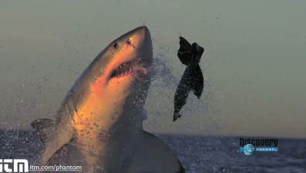 Tiburones blancos atacando
