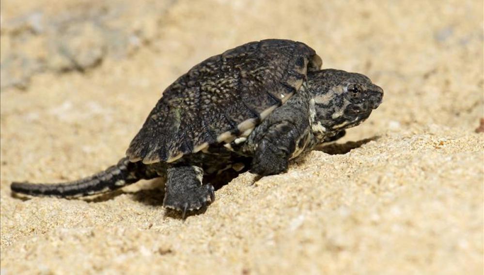 Pequeño ejemplar de tortuga lagarto