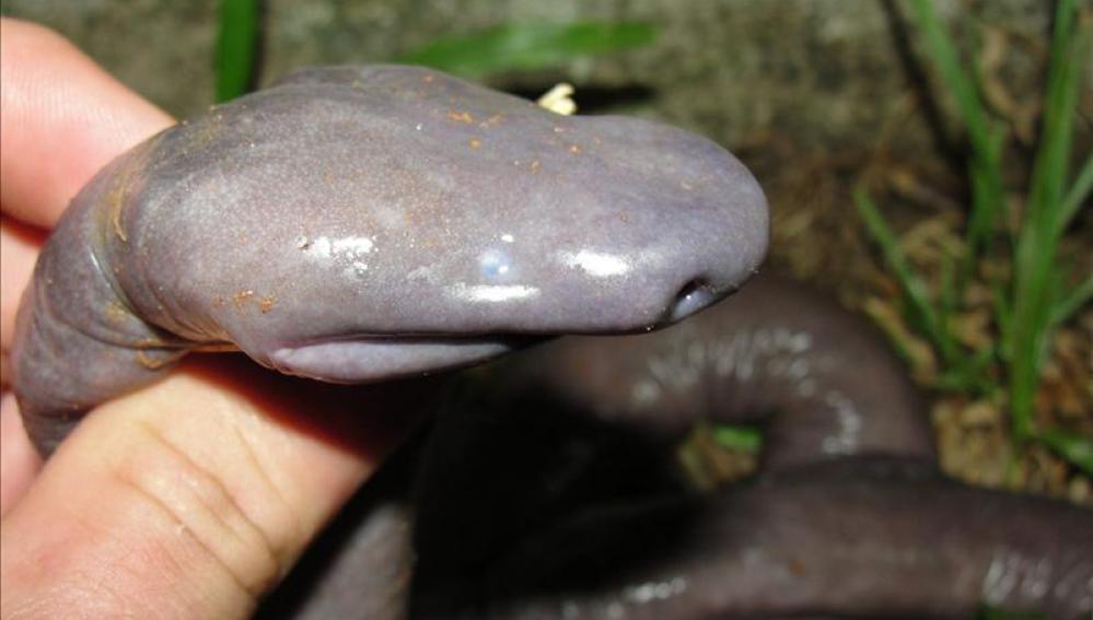 Ejemplar del mayor anfibio sin pulmones encontrado