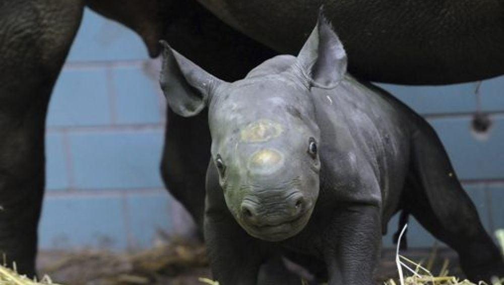 Akili, el pequeño rinoceronte negro