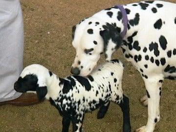 El corderito junto a su madre adoptiva