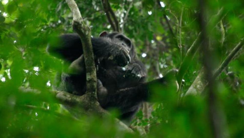 Ejemplar de chimpancé pigmeo