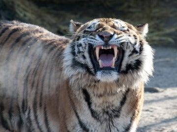 Fotografía del tigre 'Altai', que mató a su cuidadora en el zoo de Colonia