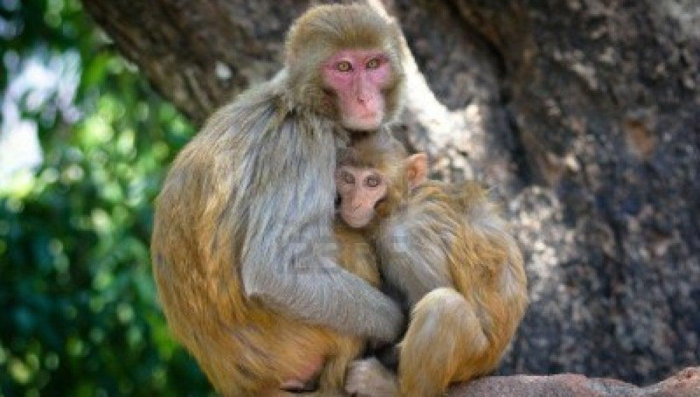 Simios en Katmandu