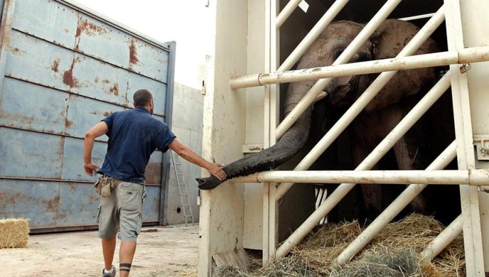 La elefanta 'Greta' con un cuidador