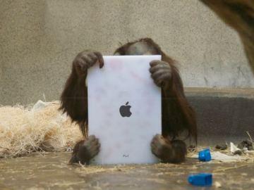 Los monos de los zoológicos usan 'tablets'