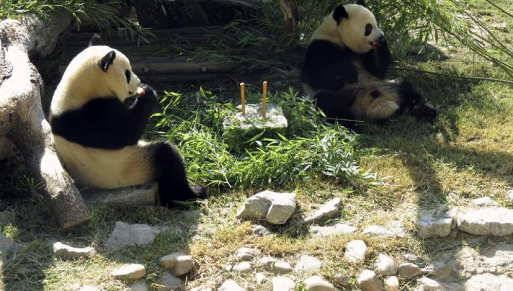 Los osos panda de Madrid celebran su cumpleaños