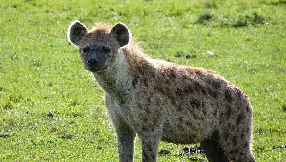 Hiena sobre un prado verde