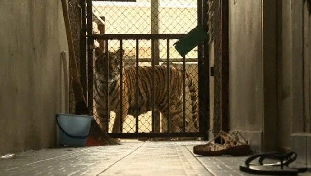 6 tigres liberados
