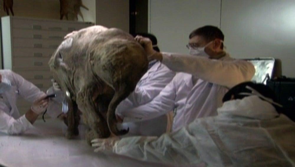 Científicos estudian una cría de elefante