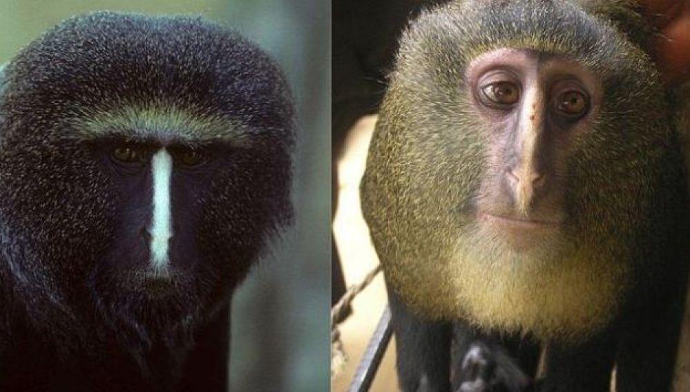 La nueva especie de mono africano es conocida con el nombre común de 'Lesula'
