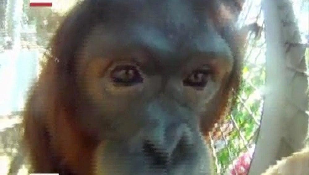 Orangutana sometida a quimioterapia en EEUU