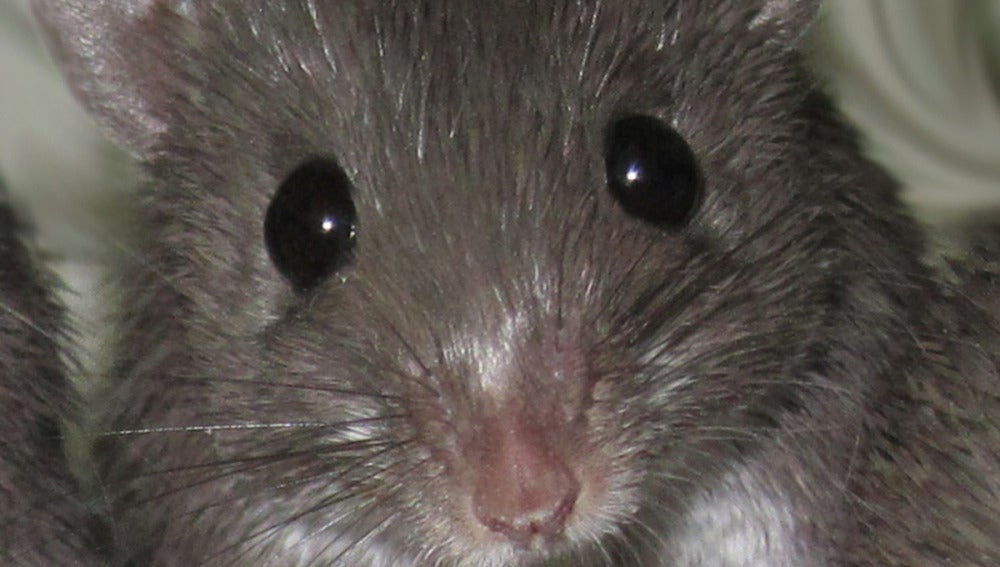 Ratón espinoso africano