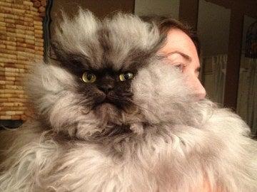 Colonel Meow, el gato más enfadado del mundo