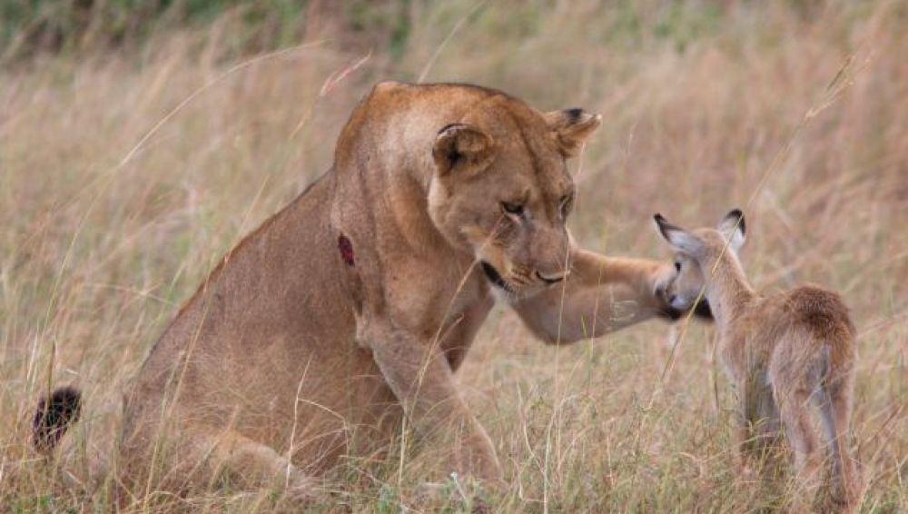 La leona acaricia al antílope
