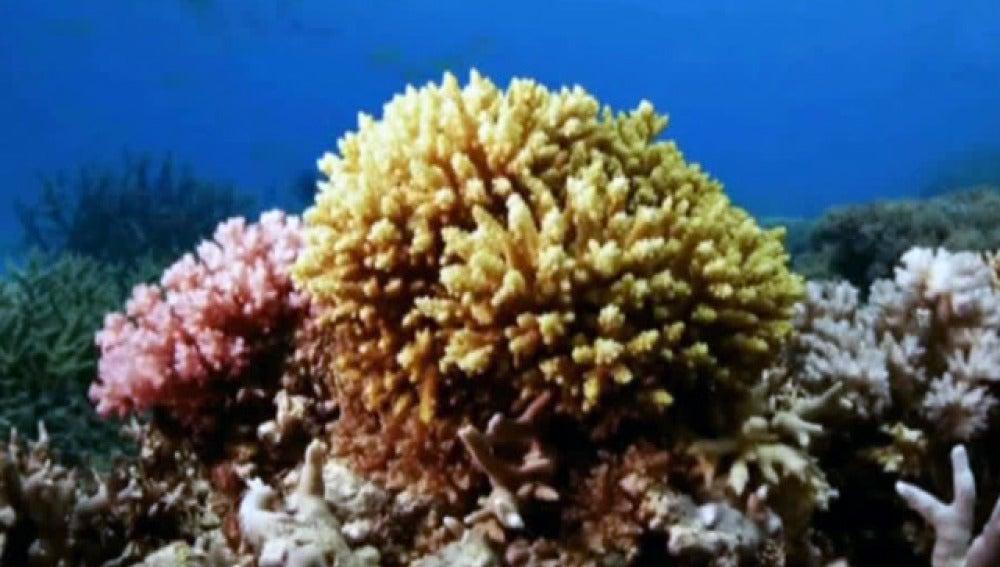 Coral de la barrera australiana