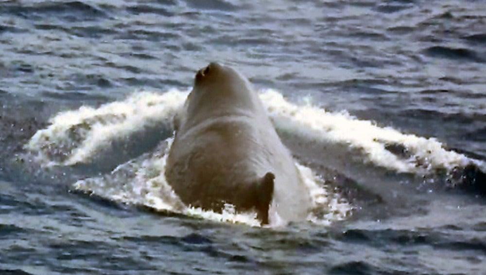 Un cachalote en las Islas Canarias