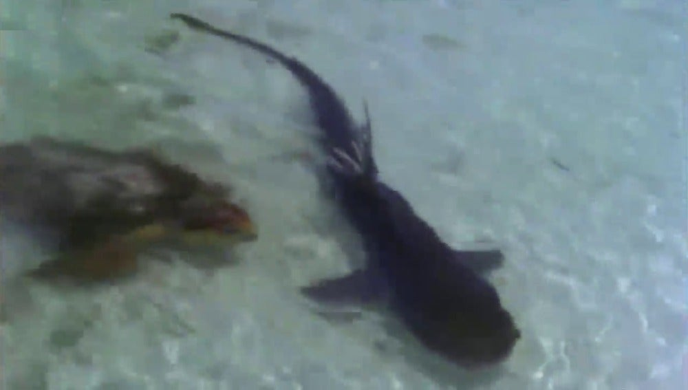 Una tortuga ataca a un tiburón e intenta comérselo
