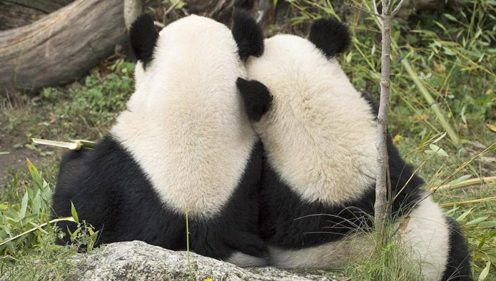 Oso Panda asiático