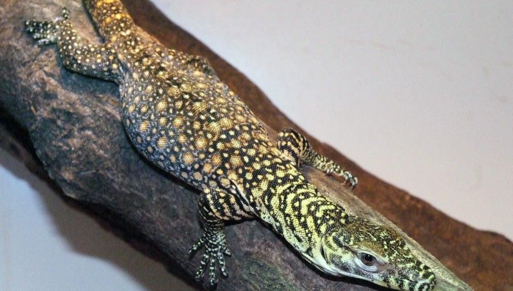 Cría de dragón de Komodoro
