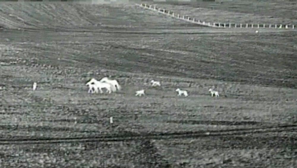 Una caballada evita el ataque de los lobos a una de sus crías