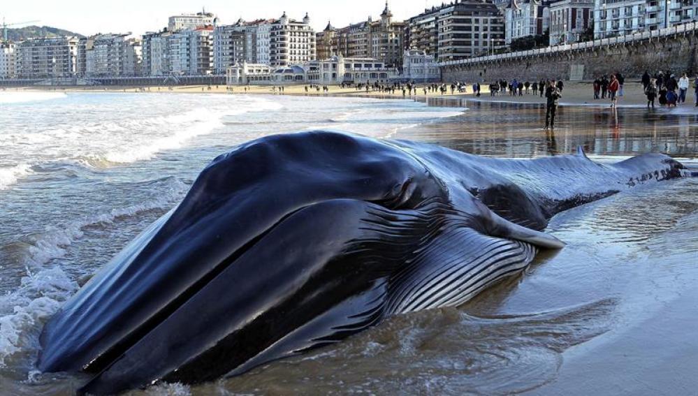 Una ballena muere varada en la playa de La Concha