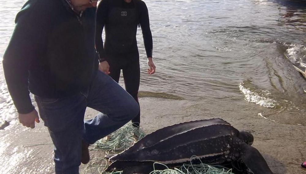 Fotografía facilitada por Cepesma que muestra a la tortuga laúd de 170 kilos