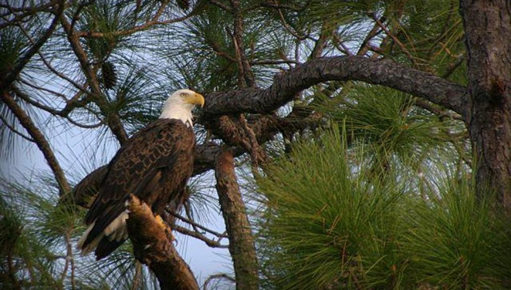 Una de las águilas calvas que anida en Florida