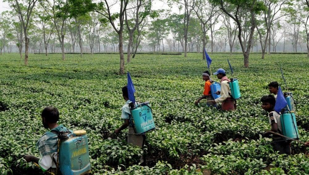 Agricultores indios trabajan en una plantación de té