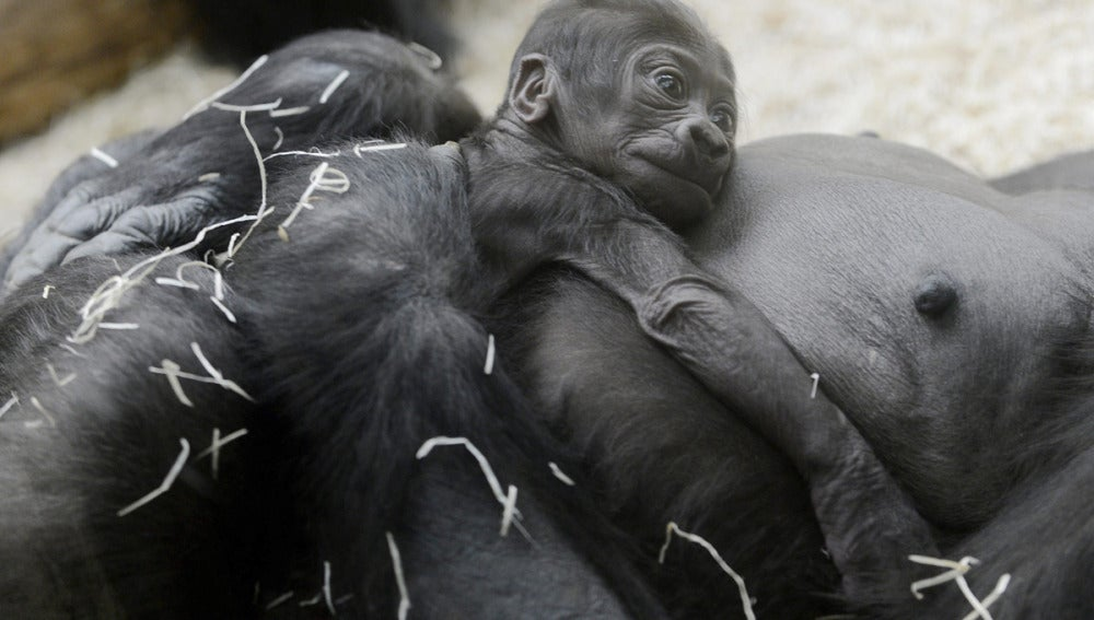 Una cría de gorila de lomo plateado, nuevo miembro del zoo de Praga