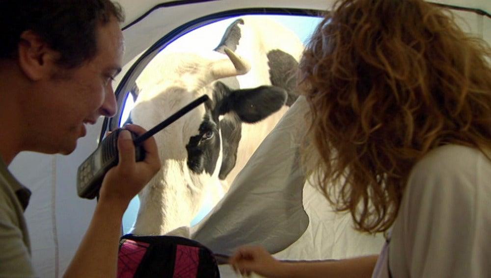Una vaca en El Barco