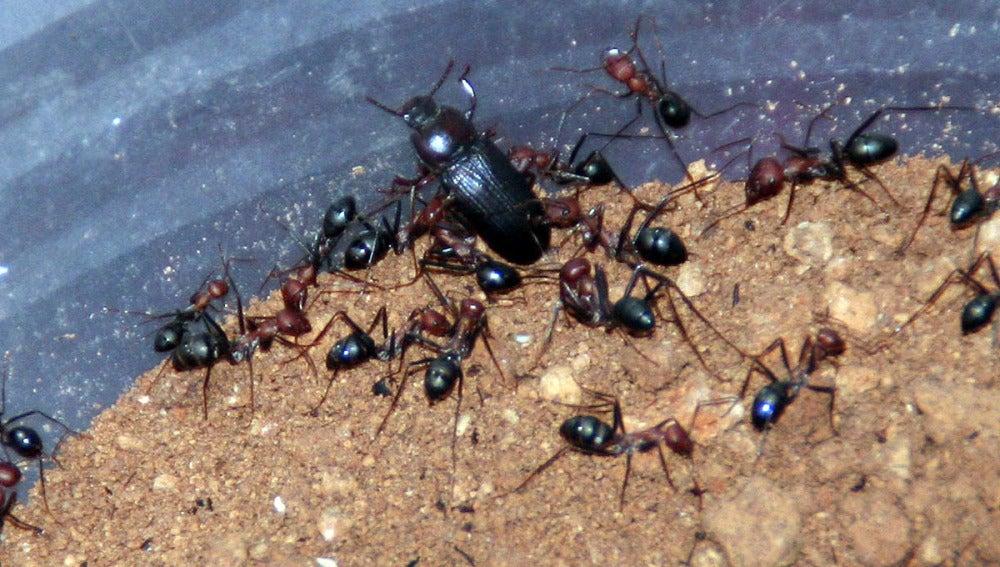 El escarabajo de la harina