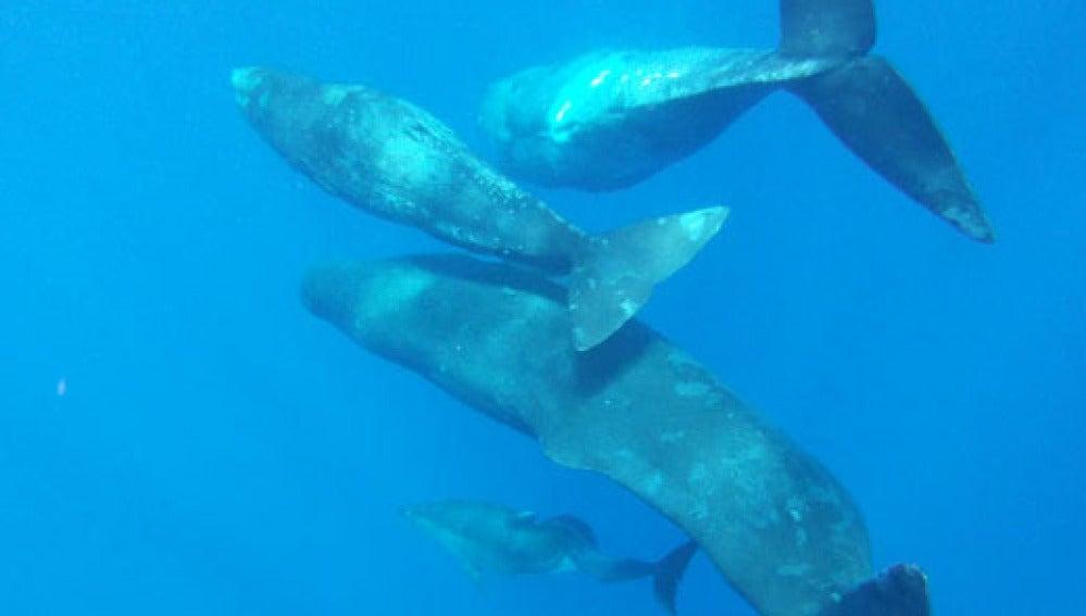 Los cachalotes adoptaron al delfín