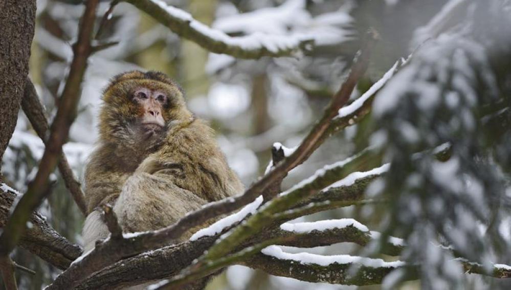 Ejemplar de macaco, Macaca sylvanus