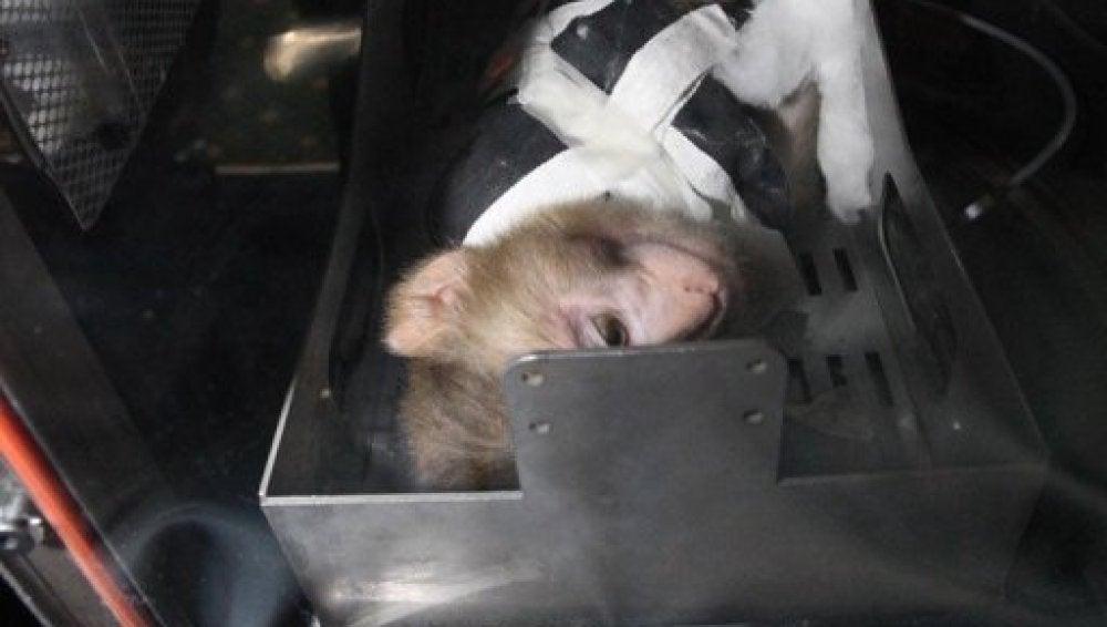 Un mono en una capsula Kavoshgar-4 iraní en Teheran