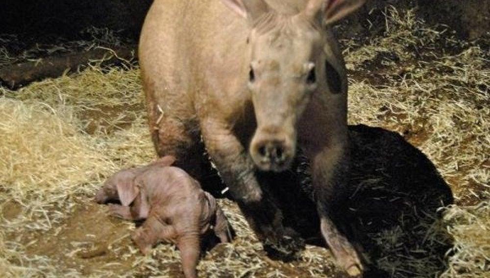 El primer cerdo hormiguero de España