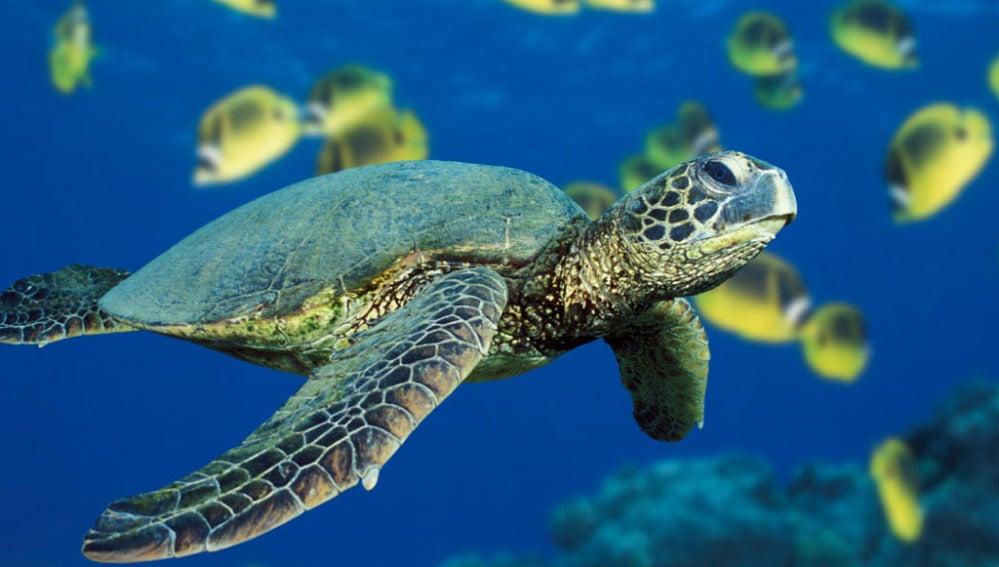 La tortuga carey, en peligro de extinción