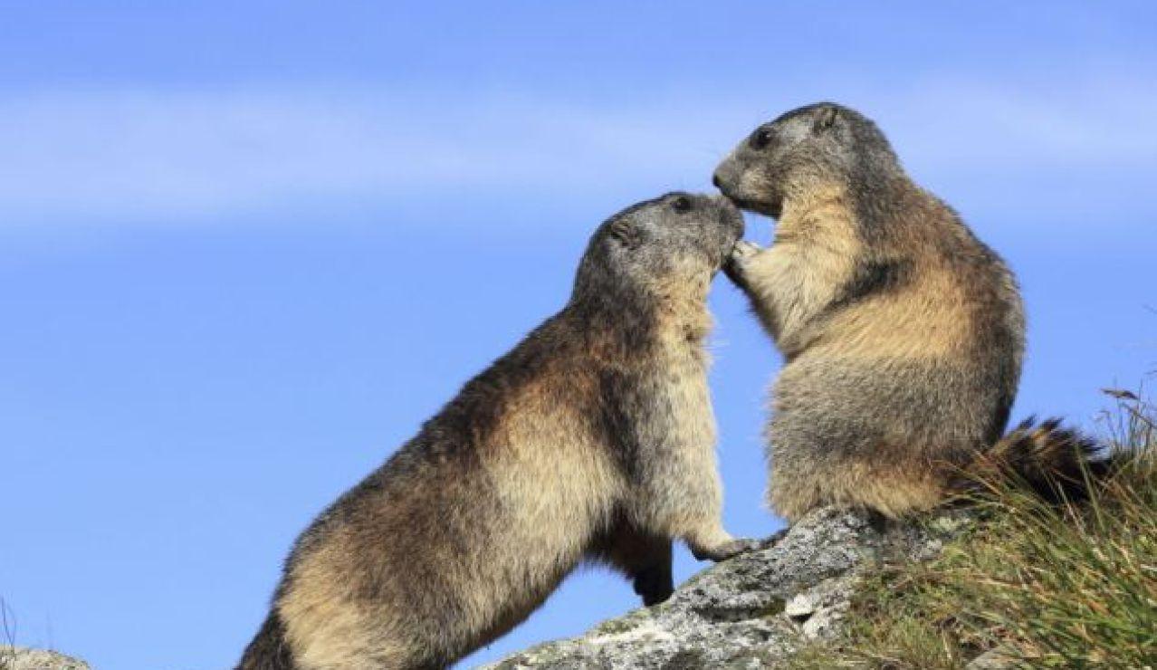 Dos marmotas alpinas se olisquean