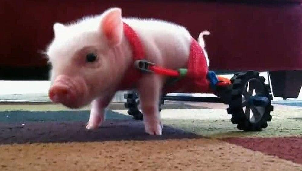 Un veterinario construye una silla de ruedas para un cerdo