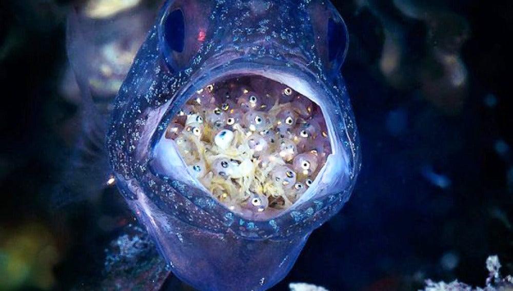 Imagen frontal del pez cardenal