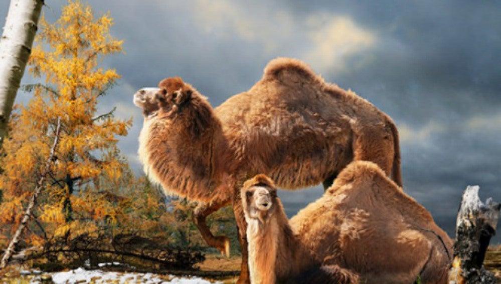 Hallan restos de un camello gigante en el Ártico canadiense