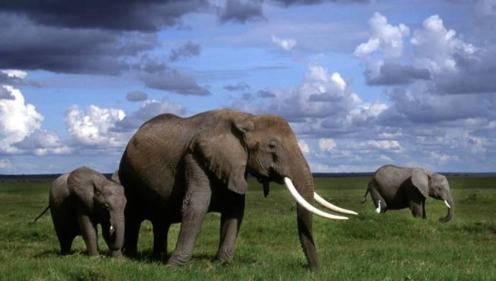 La población de elefantes africanos, en peligro por la caza furtiva