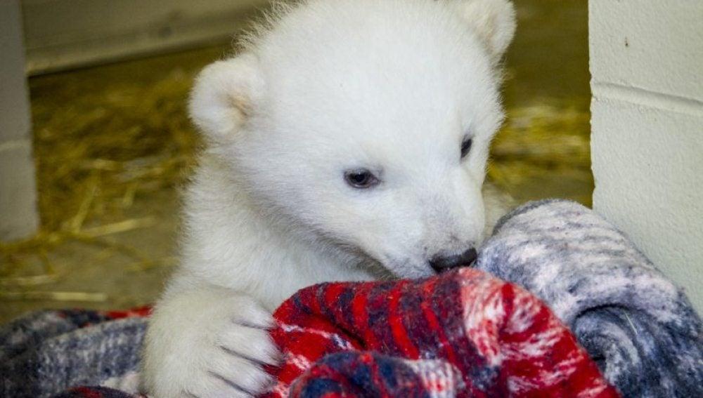 Kali, una cría de oso polar huérfana